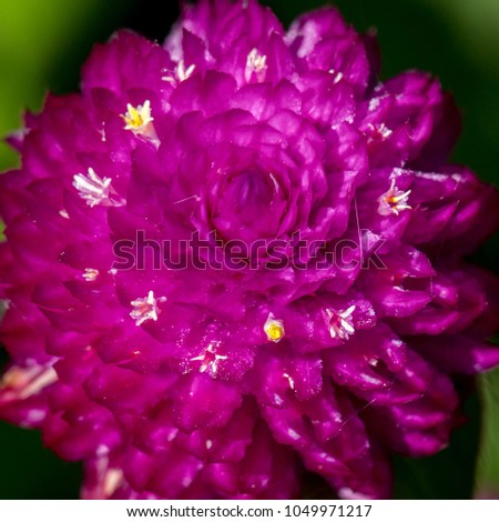bright purple globe amaranth ...