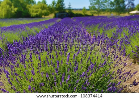 Bright purple lavender.
