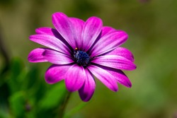 Bright purple / pink close up of Dimorphotheca / Daisy flower with vibrant petals and green blurred background