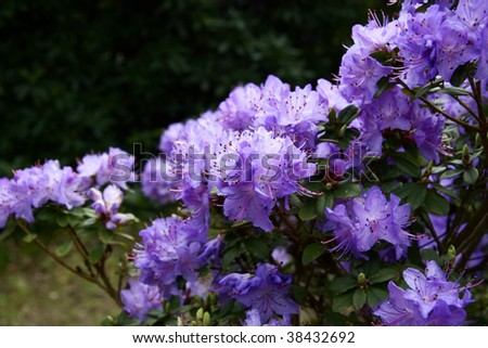 bright purple rhododendron flower on the shrub