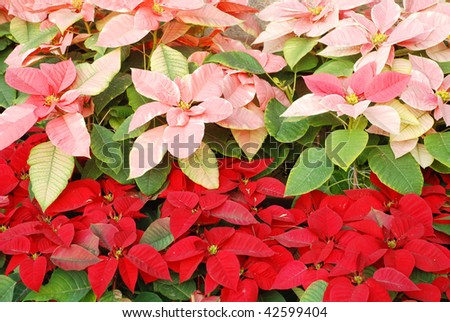 Bright red and pink Christmas roses decoration