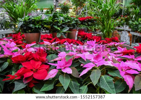 Bright red and pink poinsettia flowers, otherwise called Christmas star, with dark green leaves in pots, are sold in a flower shop against a background of different green plants