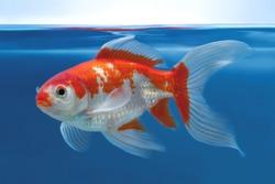 Bright red and white aquarium goldfish on blue underwater background in fishtank, Shubunkin
