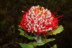 Bright red and white flower of scarlet banksia, Banksia coccinea, natural habitat in Southwest Western Australia, lateral view