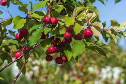 Bright red apples on a decorative apple tree in the park.