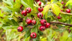 Bright red berries (haws) of the hawthorn (Crataegus monogyna), growing naturally. They are used in herbal medicine for ailments as well as in culinary jams, jellies and wines. Landscape image.