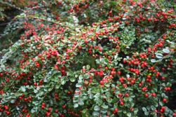 Bright red berries of bearberry cotoneaster (Cotoneaster dammeri) with green leaves after rain