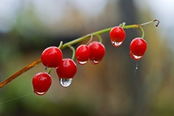 Bright red berries of Lily of the valley with dew drops, indoor macro shot.