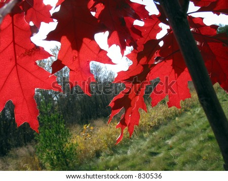 Bright red colorful oak leaves on the young oak tree in the fall