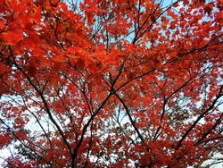 Bright red colourful leaves of a red-maple tree infront of the blue sky.