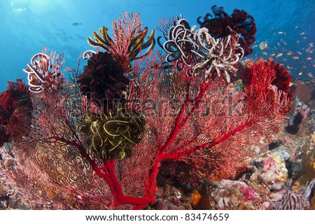 Bright red coral covered with Crinoids on a reef at Bali, Indonesia