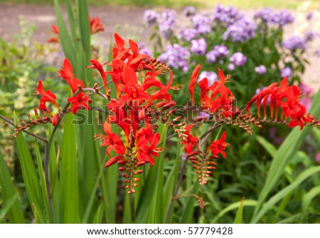 Bright red crocosmia with blue phlox unfocused behind