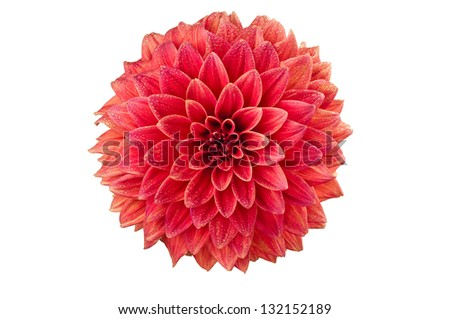 Bright red decorative stellar Dahlia flower isolated over white background
