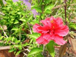 Bright red flower hibiscus (ibiscus rosa-sinensis)