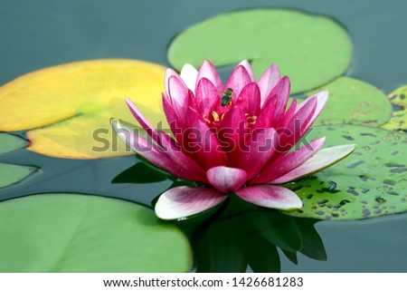 bright red flower lily lotus water. botany and vegetation