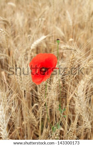 bright red flower of poppy among yellow wheat - stock photo