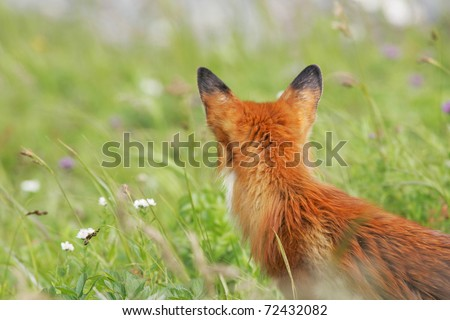 bright red fox in front of green grass, turned away from the camera