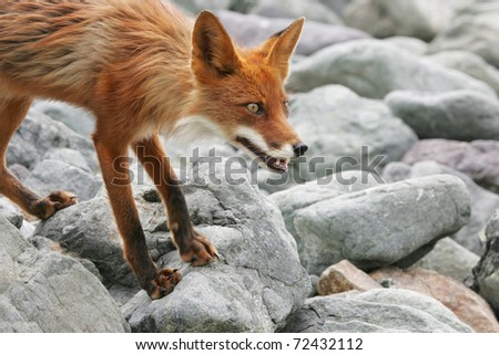 bright red fox with grey stone on the background