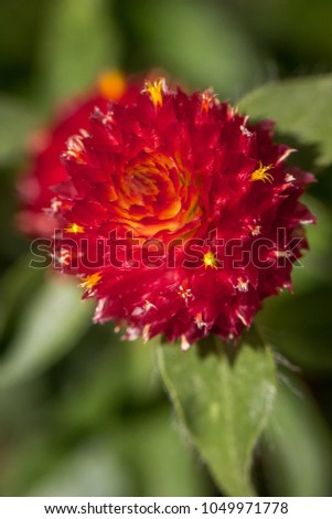 bright red globe amaranth...