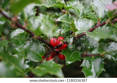 Bright red holly or common holly or English holly or Christmas holly (Ilex aquifolium) berries with polished green leaves after rain #1180336387