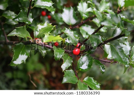Bright red holly or common holly or English holly or Christmas holly (Ilex aquifolium) berries with polished green leaves after rain #1180336390
