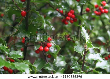 Bright red holly or common holly or English holly or Christmas holly (Ilex aquifolium) berries with polished green leaves after rain #1180336396