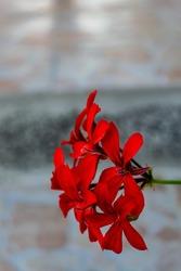 bright red ivy-leaved pelargonium (lat. Pelargonium peltatum) closeup in the summer.