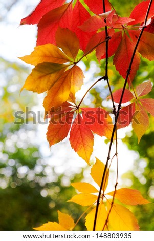 Bright red leaves of wild grapes close-up. Vertical frame. Autumn background. Against the background of greenery.