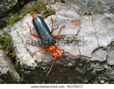 Bright red Longicorn beetle on the bark of a tree - stock photo