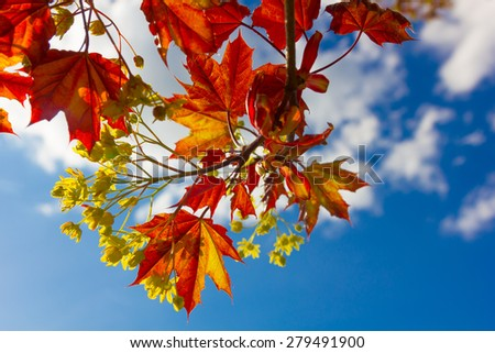 Bright red maple leaves against blue spring sky. Flowers close up. #279491900
