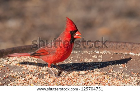 Bright red Northern Cardinal male eating seeds at a feeding station in winter