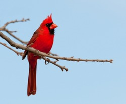 Bright red Northern Cardinal male in an Oak tree in winter