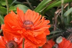 Bright red-orange oriental poppy (Papaver orientale) flower close up