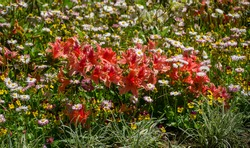 Bright red orange Rhododendron Hybrid Azalea surrounded by daisies in flower bed. Beautiful colorful inflorescences of rhododendron in Arboretum Park Southern Cultures in Sirius (Adler).
