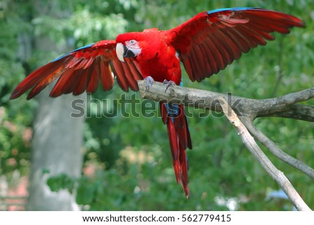 Bright red parrot flying off perch branch at zoo