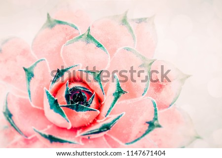 Bright red-pink cactus succulent on soft light gentle focus background. Beautiful natural cactus, top view