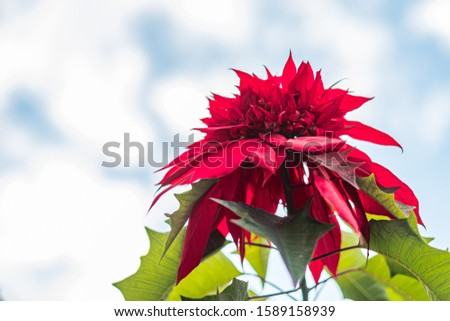 Bright red poinsettia flower against winter sky with copy space