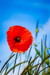Bright red poppies. Symbol of rememberance sunday. Countryside background.