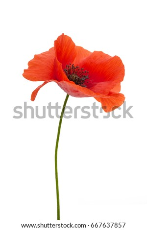 bright red poppy flower isolated on white - Shutterstock ID 667637857