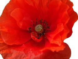 Bright red poppy flower on a white background