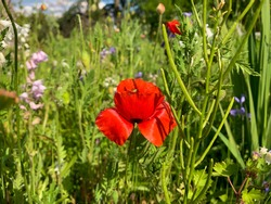 Bright red poppy flower with a green insect inside  close up on blurred backgtound of a beautiful meadow with bright wild flowers and green grass