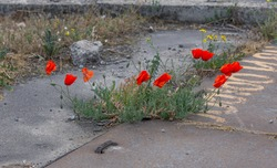 Bright red poppy grows from asphalt, flower through asphalt. Сoncept of individuality and dedication, lonely flower on road. Symbol of thirst for life and survival in all conditions.Impossible