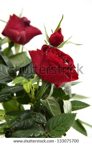 Bright red roses - stock photo