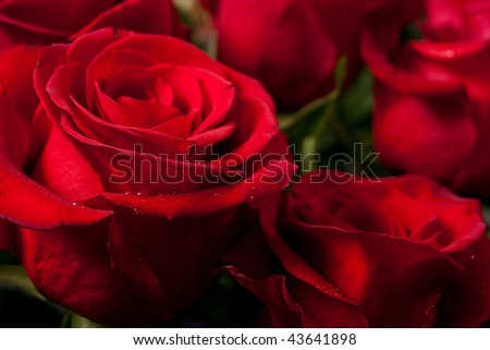 bright red roses - a lot of them as a floral background