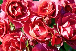 Bright red roses flowers background. Vivid rosebuds in the garden. Nature patterns