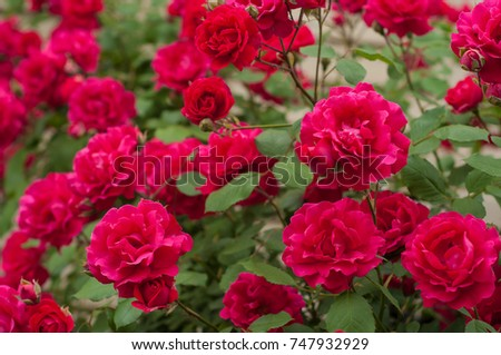 Bright red roses with buds on a background of a green bush after rain. Beautiful red roses in the summer garden. Background with many red summer flowers. #747932929