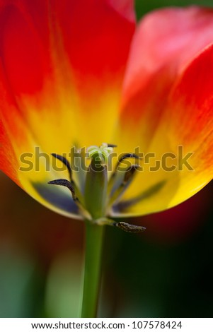bright red tulip, close-up