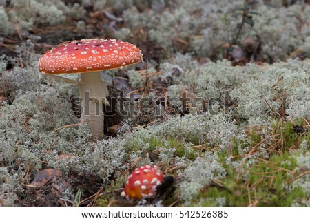Bright red wild poisonous, psychoactive and medicinal Fly Agaric mushrooms, Amanita muscaria, growing among mosses and reindeer lichens in a forest in Siberia