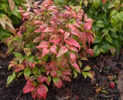Bright Red Winter Foliage of the Chinese Sacred or Heavenly Bamboo (Nandina domestica 'Fire Power') Growing in a Herbaceous Border in a Garden in Rural Devon, England, UK