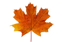 bright red yellow maple leaf on white background